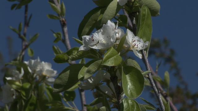 Rešite se zauvek kruškine buve u voćnjacima uz pomoć zeolita