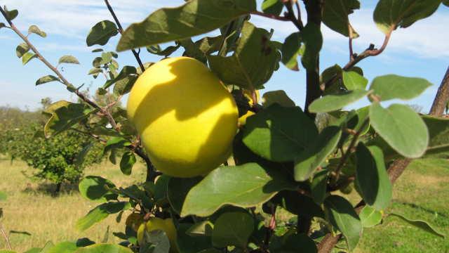 Zaštita dunje od jabukinog i breskvinog smotavca