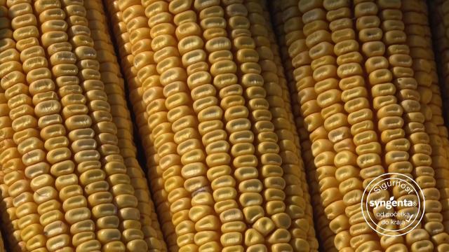 """""""Syngenta"""" hibridi kukuruza – jer je sigurnost njihova glavna odlika"""