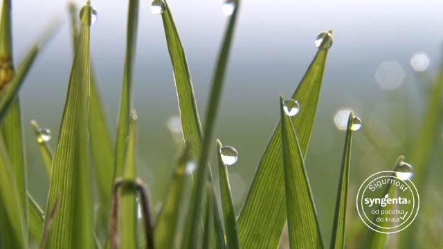 Kako da vam pšenica svakoga dana rodi 100 kilograma po hektaru