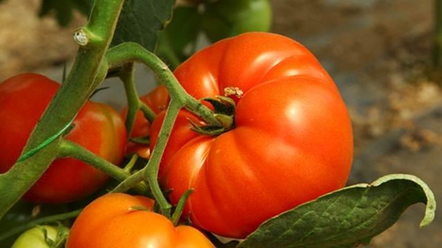 Do krupnijih i sočnijih plodova paradajza u samo 4 koraka