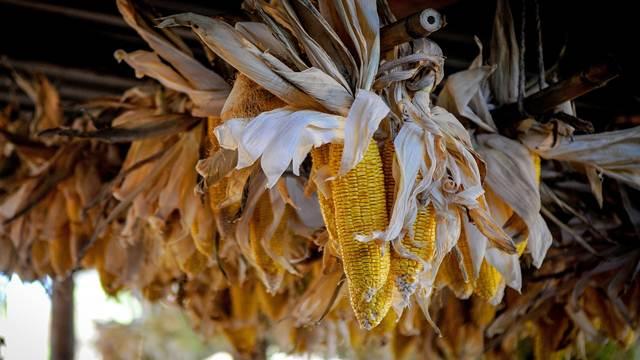 Procene stručnjaka: Očekuje se izvoz od 4.7 miliona tona žita iz Srbije