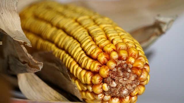 Agrimax hibridi kukuruza - Titos