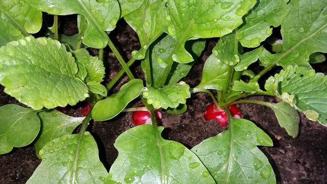 Dosadila vam je zelena salata? Dajemo vam 6 predloga šta još možete saditi!