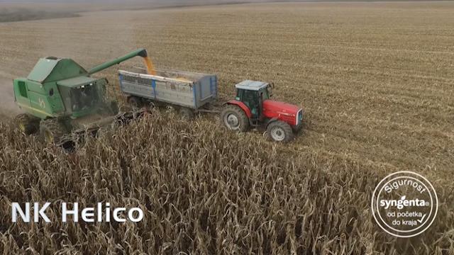 NK Helico – hibrid kukuruza za bolji prirast svinja