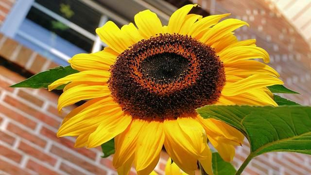 Da li znate zašto se suncokreti uvek okreću prema Suncu?