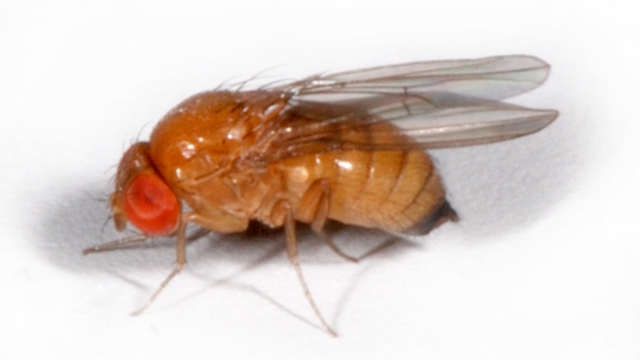 Protiv azijske voćne mušice za sada samo klopke