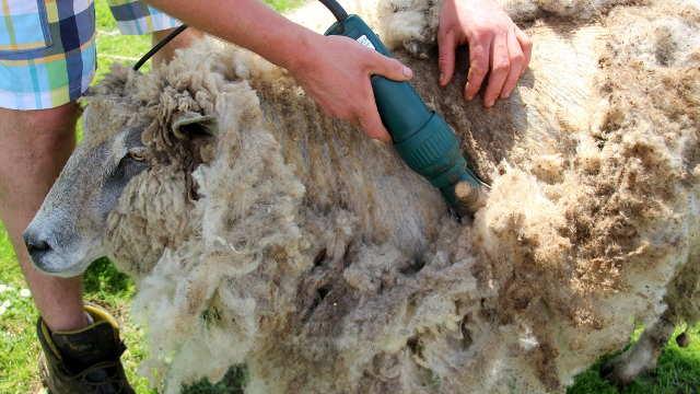 Makaze u ruke - vreme je za šišanje ovaca!