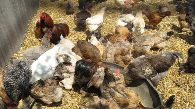 Povećajte nosivost jaja kod vaših koka - hranite ih belim lukom