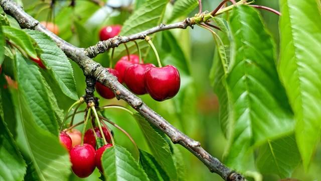 Važna pomotehnička mera: Ne zaboravite da proredite plodove voća