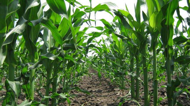 Uz ove hibride kukuruza imaćete i visoke prinose i situ stoku