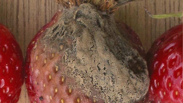 Siva trulež - velika pretnja za voće i povrće u plastenicima