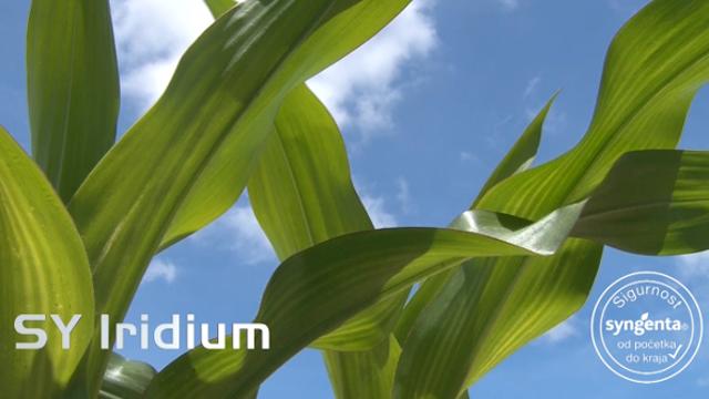 Ovo su hibridi kukuruza koji nadmašuju sva očekivanja
