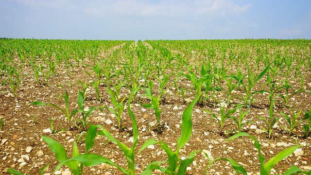 Kako da pomognete kukuruzu koji je pretrpeo štetu od mraza
