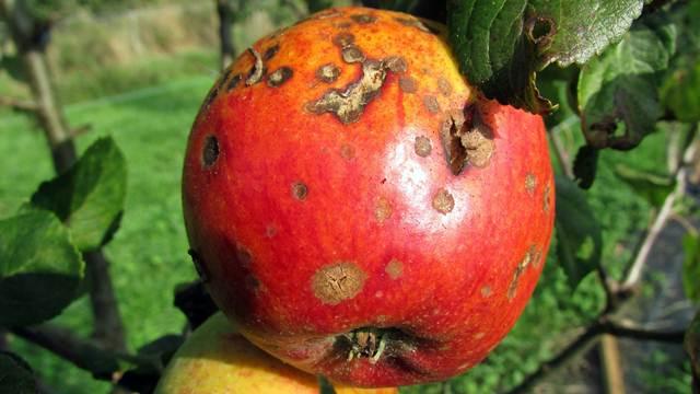 Mraz u aprilu obrao i jabuke - Padavine uticale na stvaranje infekcija