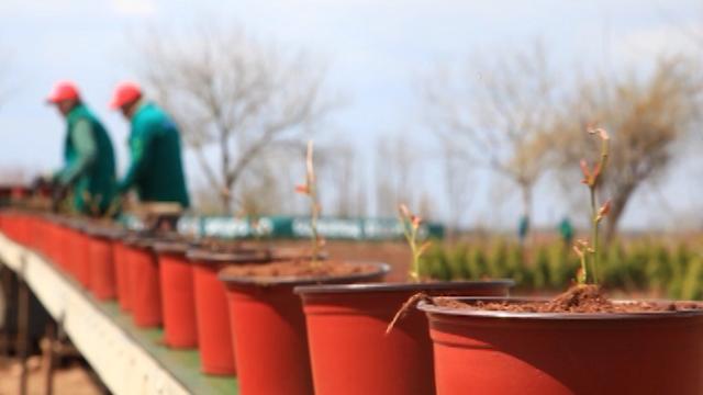 Ovako izgleda najsavremenije pikiranje sadnica borovnice