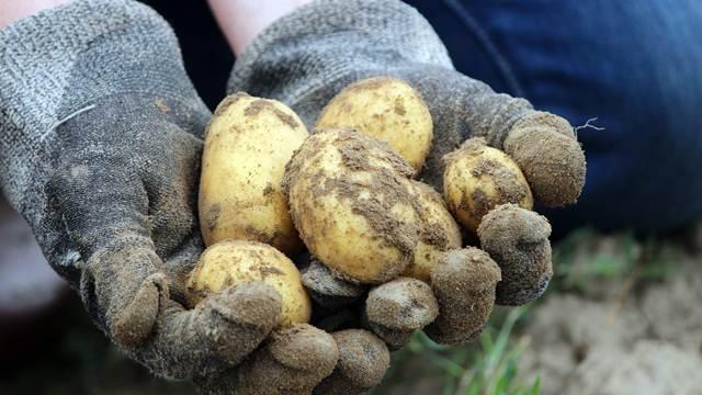 Pravilno urađene agrotehničke mere povećavaju prinos krompira