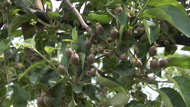 Stručnjaci preporučuju: ovi preparati će efikasno zaštititi vaše jabuke