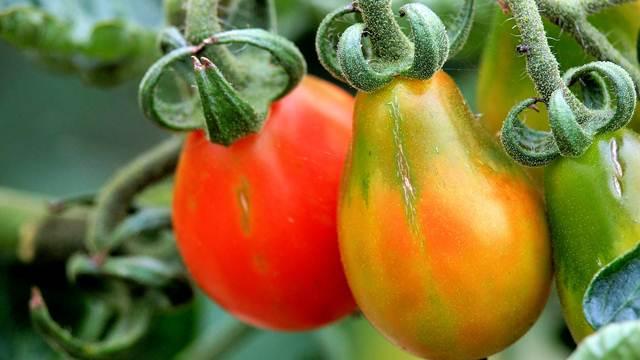 Naučnici tvrde: Nije svaki genetski inženjering u poljoprivredi GMO