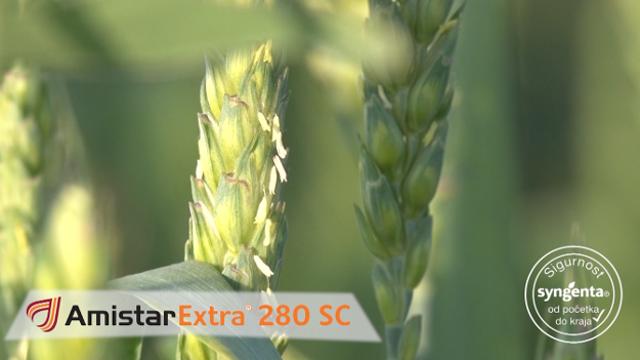 Amistar Extra – nema mu ravnog u suzbijanju bolesti pšenice
