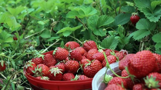 Počela prodaja jagode iz Kisača