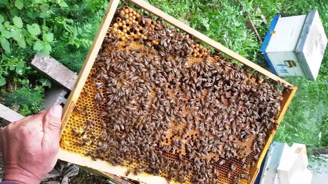 Pčelari vole pčele, a medari su usmereni samo na zaradu