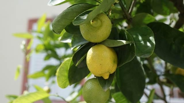 VIDEO SAVETI: Limun možete gajiti i na terasi
