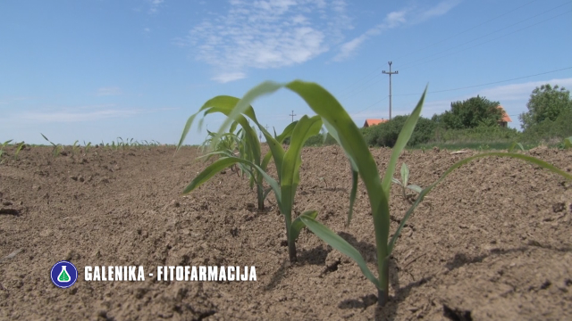 Plamen - uništava sve širokolisne korove u usevu kukuruza - ©Agromedia
