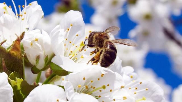 Držite pčele blizu vaših biljaka - one povećavaju prinose