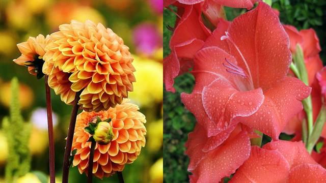 Proleće je vreme za sadnju cveća: Dalije ili gladiole?