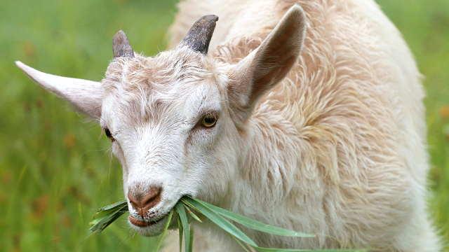Kako da održite dobar apetit kod koza