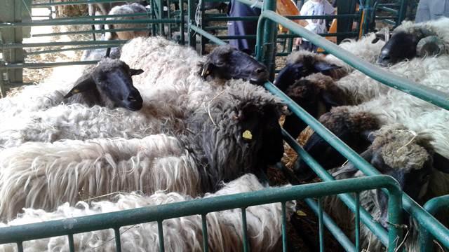 Retka domaća rasa ovaca koja ne zahteva velika ulaganja