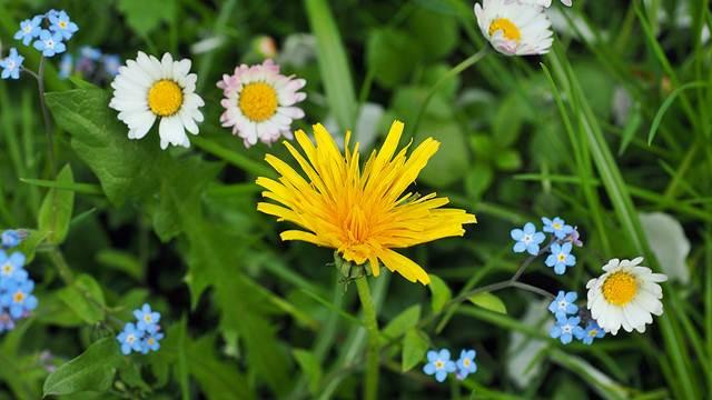 Korov u travnjaku: Trava će izgledati odlično, a i možete pomoći pčelama