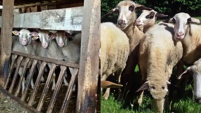 Najbolja rasa ovaca za uzgoj: virtemberg ili pramenka?