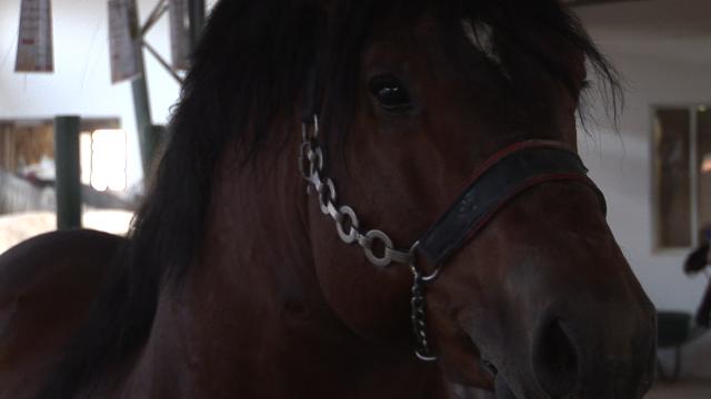 Hladnokrvna rasa konja odlika veličine i snage