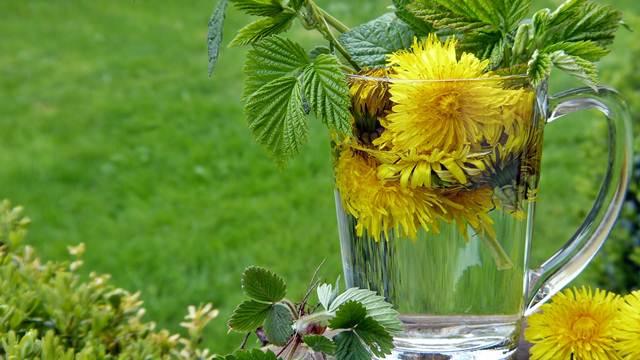 Prirodni lek za mnoge bolesti: Sve o uzgoju i pripremanju maslačka
