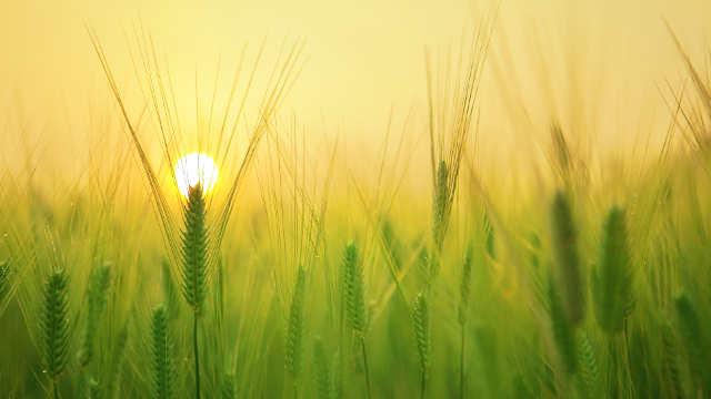 Ova 3 fungicida će uspešno zaštititi vašu pšenicu od fuzariuma