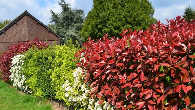 Odaberite idealnu živu ogradu za vaše dvorište