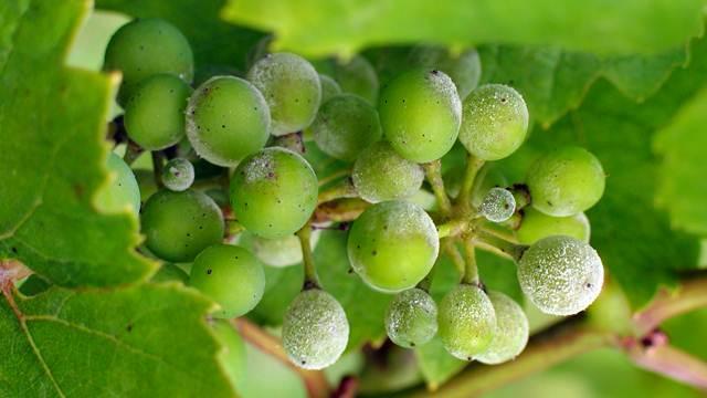 Ko ima vinograd - vreme je da obrati pažnju na ove bolesti