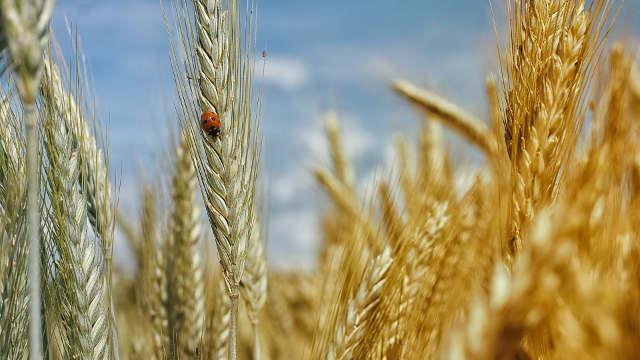 Kako je bilo na Danu polja strnih žita u Bačkoj Topoli