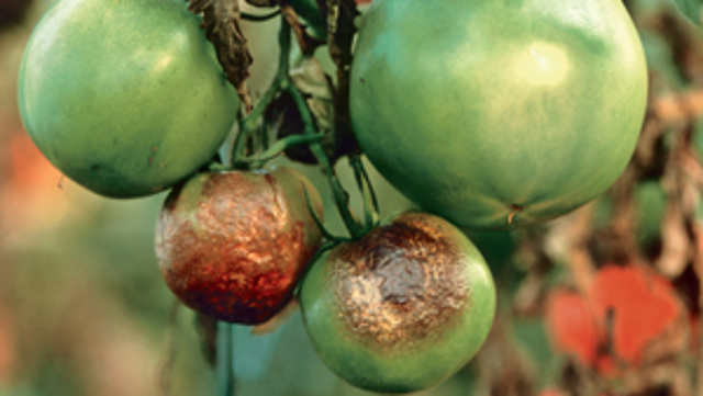 Plamenjača napada krompir, paradajz i krastavac!