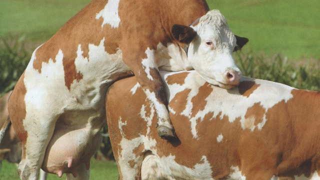 Stočari, ovo morate znati: Evo kako se odvija polni ciklus krava i junica