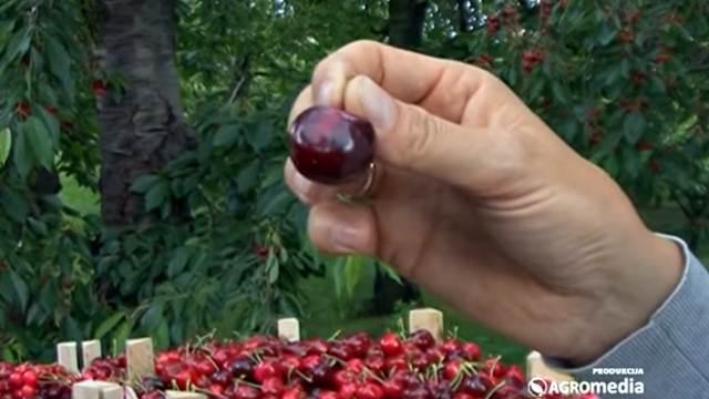 Ima preko 3.000 stabala trešnje, planira da sadi još