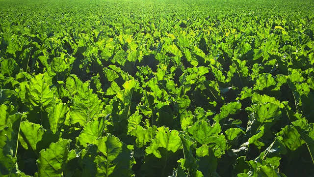 4 preparata za uspešnu zaštitu šećerne repe
