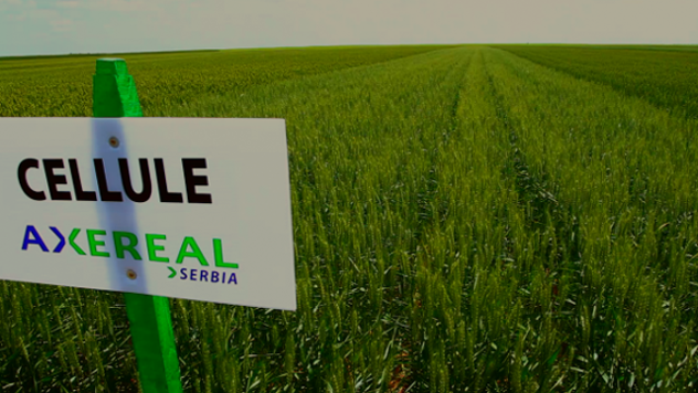 Sorte pšenice koje karakterišu dobri prinosi i izvanredan kvalitet