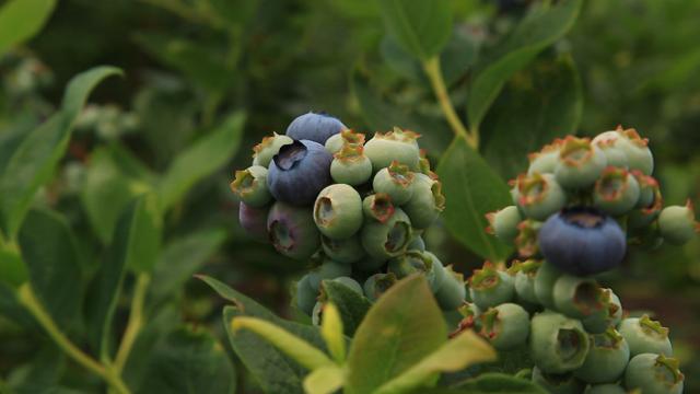 Ovako bi trebalo da izgleda dobar zasad borovnice u punom rodu!