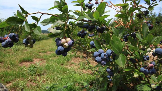 14 najpopularnijih sorti borovnice u našoj zemlji