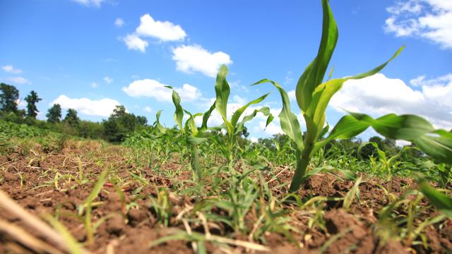 Kukuruz za uzor [AGROFOTO]