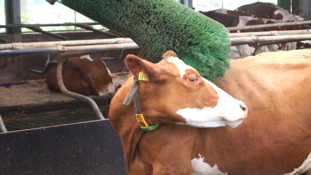 Priče iz štale: Evo zašto treba da timarite krave