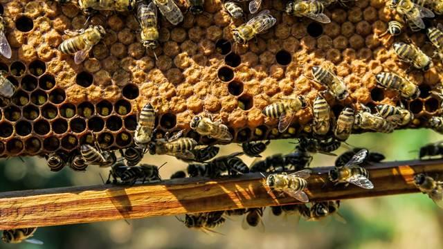 Pčele ugrožene, pokrenuta inicijativa o njihovoj zaštiti